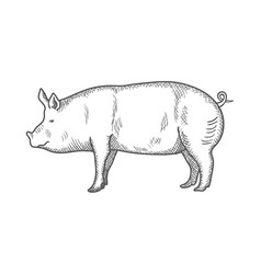 pig vintage engraved isolated vector image
