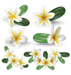 Realistic detailed 3d frangipani flowers set vector