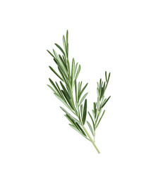 Sprig of rosemary rosemary vector