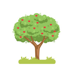 apple tree apple harvest on a vector image