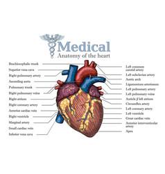 Anatomical human heart hand drawn poster vector