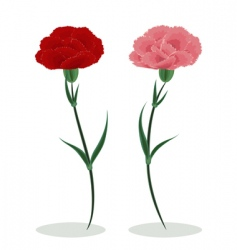 Two carnations vector