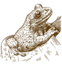 engraving black-spotted casque-headed tree frog vector image