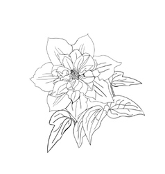 Terry flower clematis sketch vector