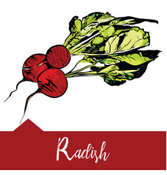 A radish in hand-drawn vector