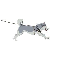 Husky dog running on a leash vector