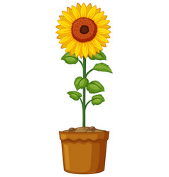 sunflower in clay pot vector image vector image