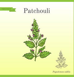 Patchouli pogostemon cablin also patchouly or vector
