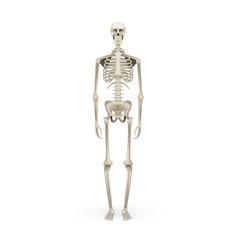 realistic skeleton human anatomy isolated on white vector image