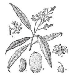 Flowering branch of a mango tree vintage vector