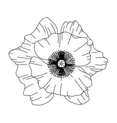poppy flower bud modern botanical drawing for vector image