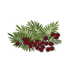 Isolated clipart acai palm vector