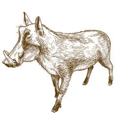 engraving drawing common warthog vector image