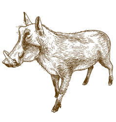 Engraving drawing of common warthog vector