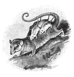 Possum vintage vector