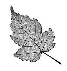 skeletonized leaf of a bush on a white vector image