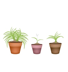 Three Dracaena Plants in Ceramic Flower Pots vector