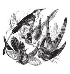 Hummingbird species vintage vector