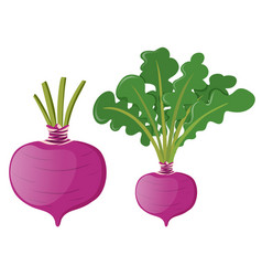 radish with green leaves vector image