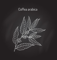 hand drawn coffee tree branch vector image vector image