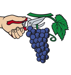 man hands harvesting grapes vector image vector image
