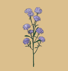 aster flower sketch vector image