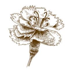 Engraving drawing cornflower vector
