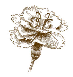 engraving drawing of cornflower vector image