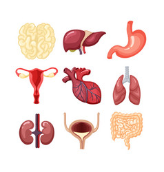 human organs anatomy set the internal system is vector image