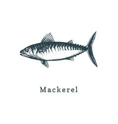 Mackerel fish sketch in vector