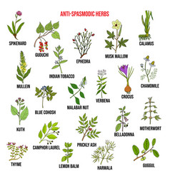 best antispasmodic herbs collection vector image