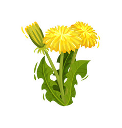 dandelion with bright yellow flowers and green vector image