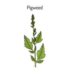 Pigweed chenopodium album medicinal plant vector
