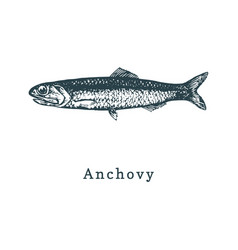 anchovy fish sketch in vector image