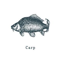carp fish sketch in drawn vector image