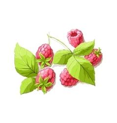 ripe raspberry vector image