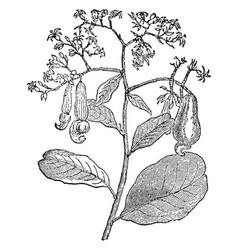 Cashew branch vintage vector