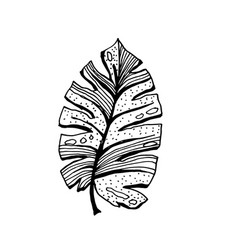 coconut palm sketch or queen palmae leaves vector image