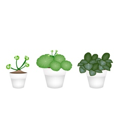 Asiatic Pennywort and Acanthaceae in Ceramic Pots vector