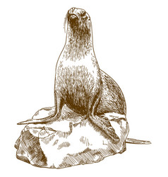 Engraving drawing of female sea lion vector