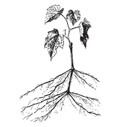 Grapevine vintage vector