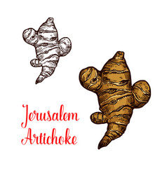 Jerusalem artichoke or topinambour vegetable vector