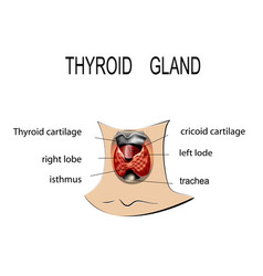 anatomy of thyroid gland vector image