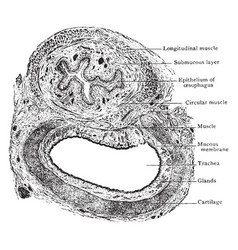 Transverse section of trachea and esophagus vector