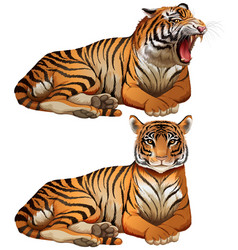 Wild tigers on white background vector