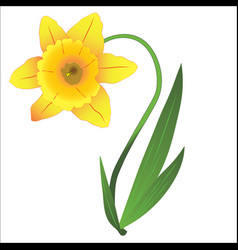 Yellow narcissus with green leaves vector