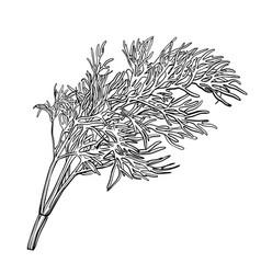 A sprig dill herbes de provencefennel vector