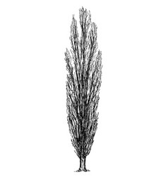 cartoon drawing of poplar tree vector image