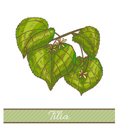 colored tilia in hand drawn style vector image