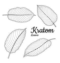 Mitragyna speciosa or kratom leaves sketch vector